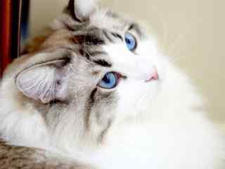 歪头卖萌的布偶猫桌面壁纸