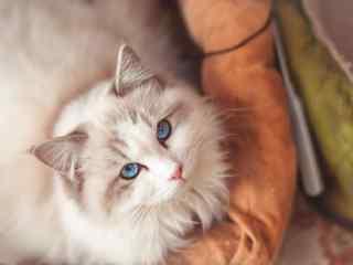 美丽的布偶猫桌面壁纸