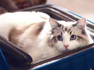 躲在行李箱里的可爱布偶猫桌面壁纸