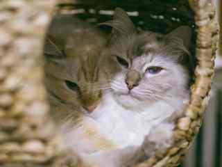 两只睡在一起的可爱布偶猫桌面壁纸