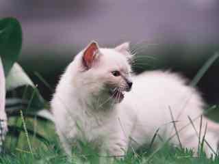 小清新可爱小布偶猫桌面壁纸