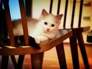 趴在椅子上的萌萌哒小布偶猫桌面壁纸