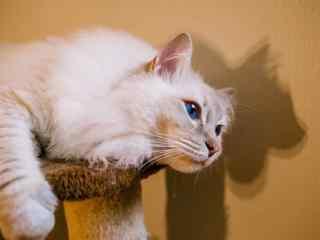 超级呆萌可爱的小布偶猫桌面壁纸