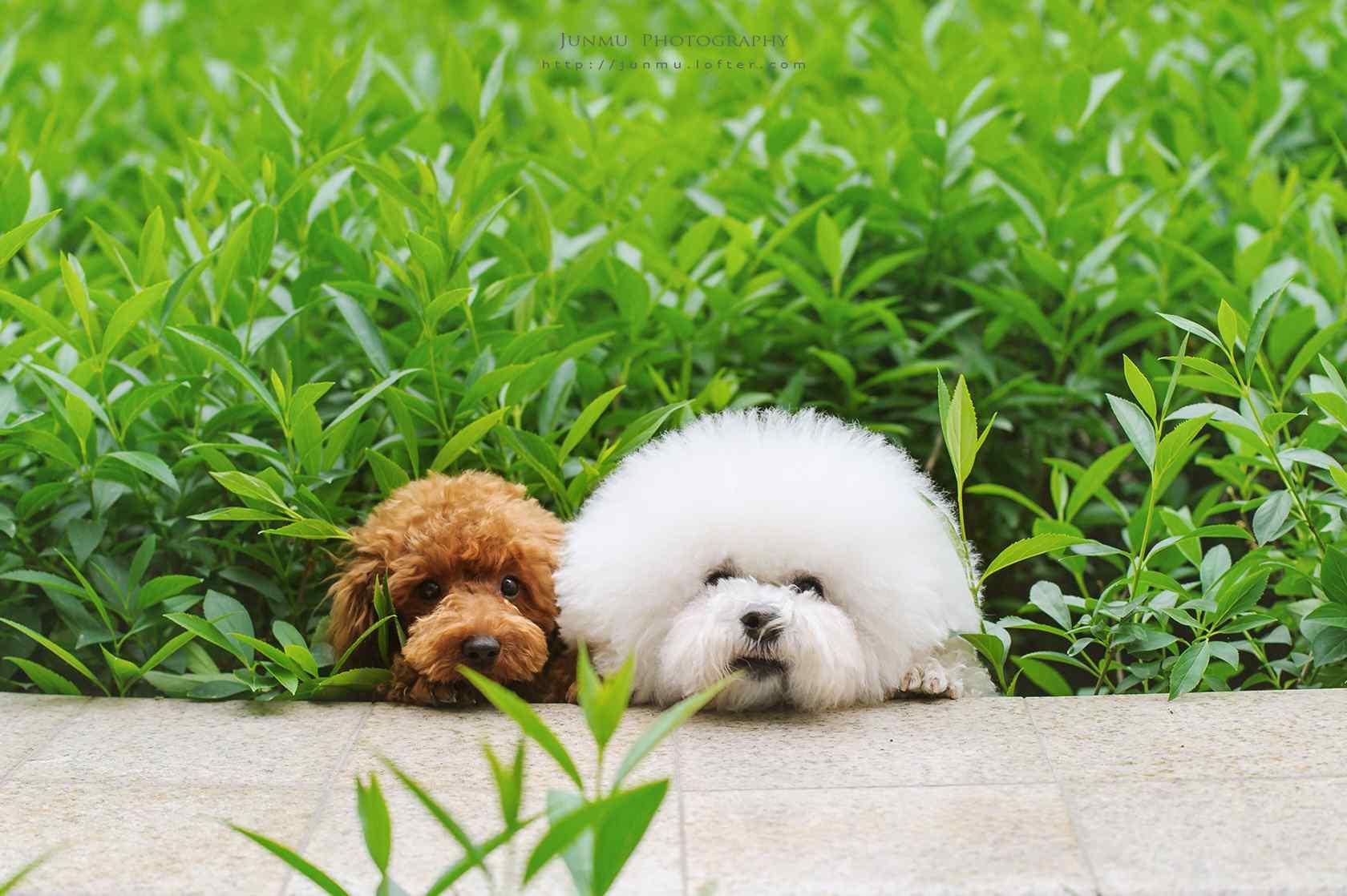 泰迪和比熊躲在草堆里桌面壁纸