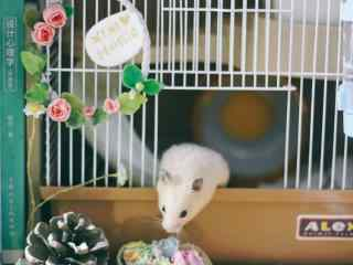 萌萌哒嗅多肉植物的可爱小仓鼠