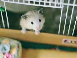 探头探脑的可爱小仓鼠桌面壁纸
