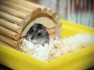 躲在小木房子里的可爱小仓鼠桌面壁纸