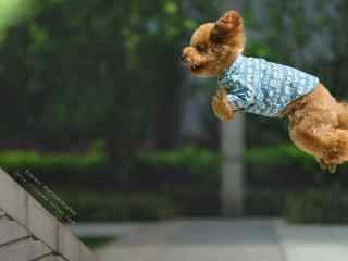 泰迪飞奔跳跃灵敏桌面壁纸