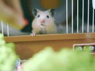 渴望食物的可爱小仓鼠桌面壁纸
