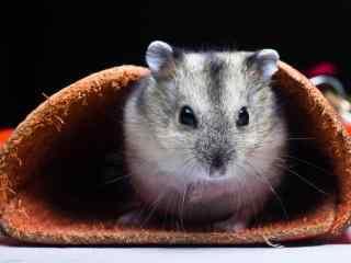 萌萌哒坐在小皮圈里的可爱小仓鼠