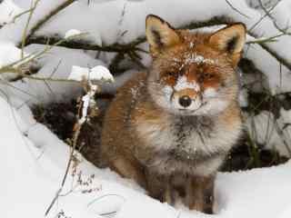 雪地里的小狐狸高清电脑桌面壁纸