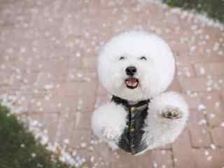 比熊可爱站立桌面壁纸