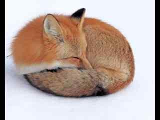 可爱酣睡的小狐狸高清电脑桌面壁纸