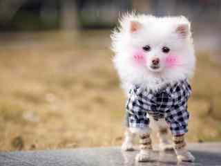 害羞脸红的可爱博美狗狗桌面壁纸