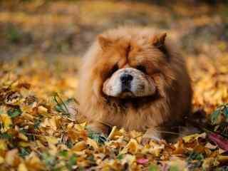 松狮趴在枯草堆中严肃桌面壁纸