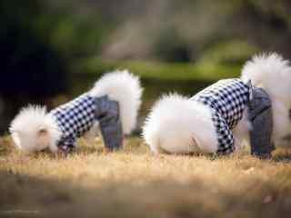 两只呆萌吃草的博美狗狗桌面壁纸