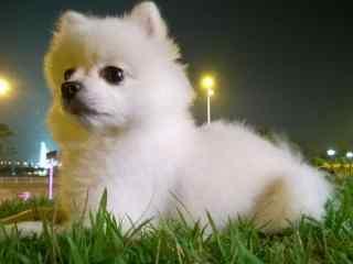 安静坐在草地上的可爱博美狗狗桌面壁纸