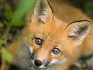 可爱的小狐狸高清电脑桌面壁纸