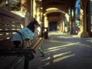安静坐在长凳子上的可爱吉娃娃桌面壁纸