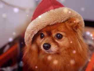 头戴圣诞帽子的可爱博美狗狗桌面壁纸