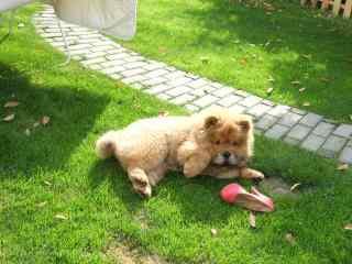 松狮在草坪中玩高跟鞋桌面壁纸