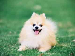 趴在草地上的可爱博美狗狗桌面壁纸