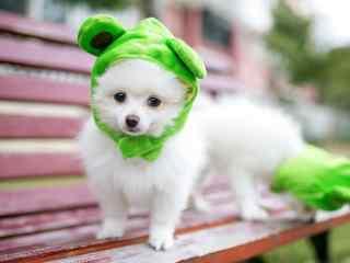 头戴绿帽子的可爱博美狗狗桌面壁纸