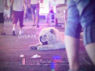 松狮趴在马路上看着川流不息的人群桌面壁纸
