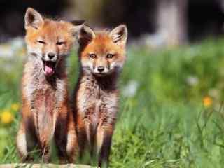 草丛间的小狐狸高清电脑桌面壁纸