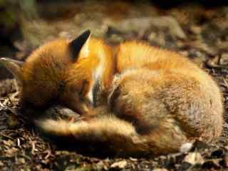 酣睡的小狐狸高清电脑桌面壁纸