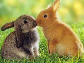 草地上亲吻的兔子电脑高清桌面壁纸