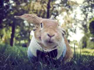 萌萌的宠物兔电脑高清桌面壁纸