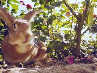 漂亮的萌宠小兔子电脑高清桌面壁纸