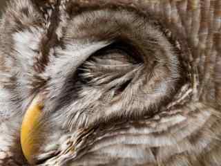 睡熟的猫头鹰特写电脑桌面壁纸