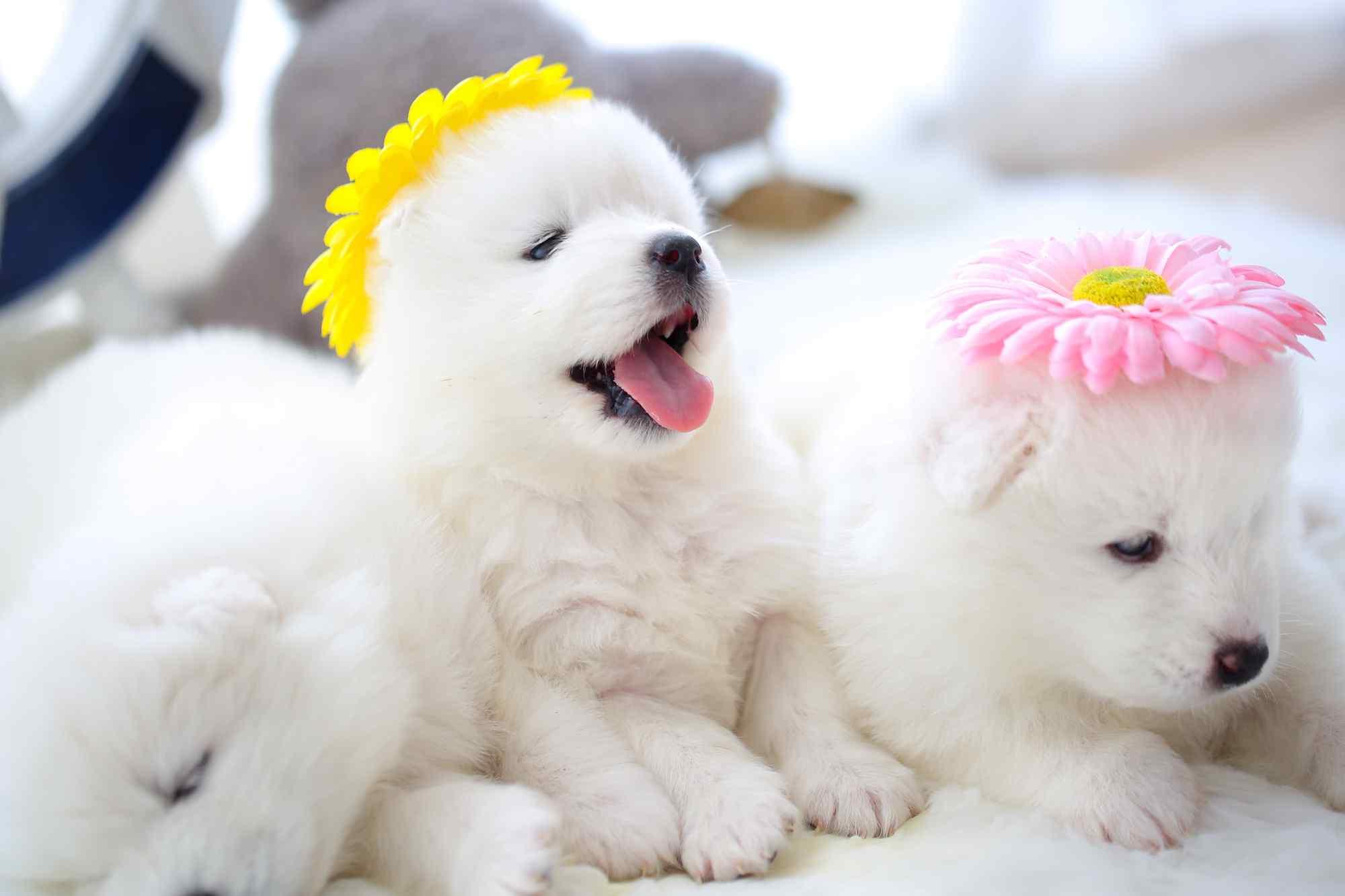 萌萌哒白色萨摩耶小奶狗桌面壁纸