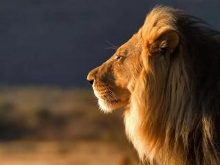 眺望远方的狮子桌面壁纸