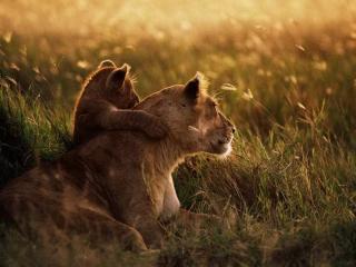 可爱温馨的母狮子与小狮子桌面壁纸