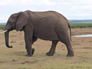胖胖的可爱大象桌
