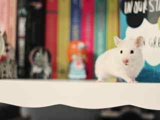 书架上的可爱小白鼠图片桌面壁纸