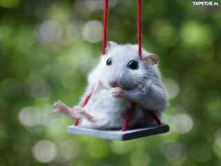 荡秋千的可爱小白鼠图片桌面壁纸