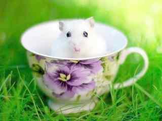 陶瓷杯中的可爱小白鼠图片桌面壁纸