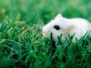 绿草地上的可爱小白鼠图片桌面壁纸