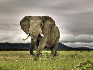 草原上的大象桌面