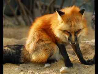 一只忧郁的小狐狸动物图片