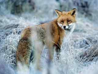可爱的雪地中的狐狸桌面壁纸