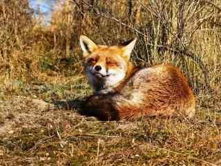 呆萌犯困的小狐狸