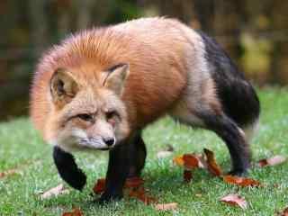 草地上的可爱小狐狸图片
