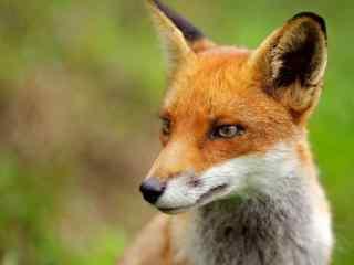 聪明机灵的小狐狸图片桌面壁纸