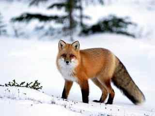 雪地里的小狐狸动物图片