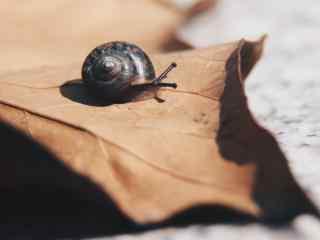 小蜗牛与枯叶桌面壁纸